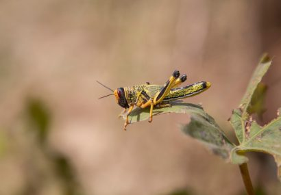 Multiple impact of COVID-19, desert locust to fuel hunger in Asia, Pacific: FAO warns